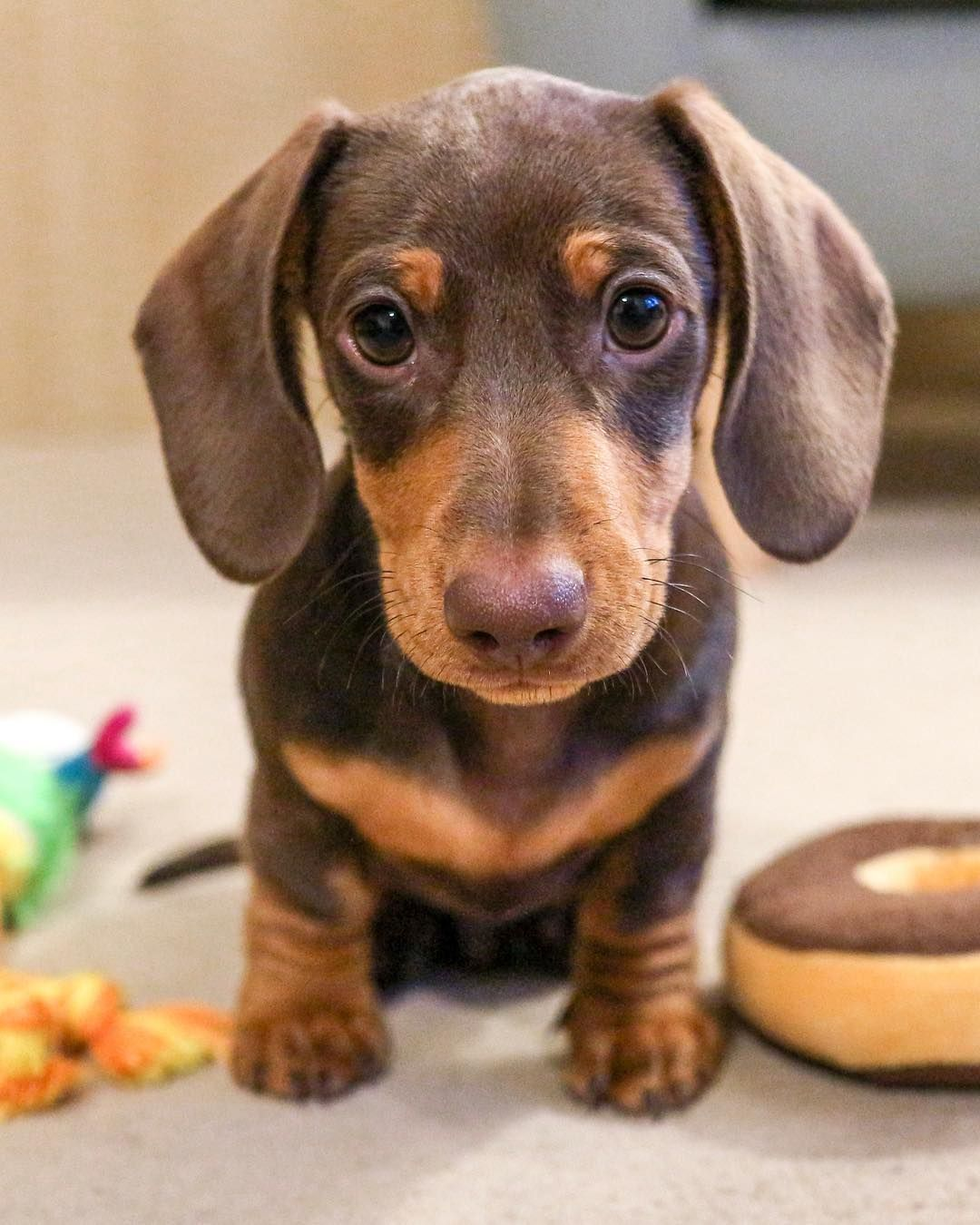 Dachshund Puppy If You Love Dachshunds Visit Our Blog To Find The Best Products And Accessories For Hounds And Daschund Puppies Dachshund Breed Clever Dog