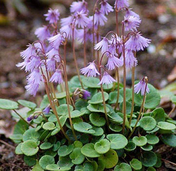 Snowbell Seeds Soldanella Alpina Very Rare Rock Garden Rock Flowers Indoor Flowering Plants