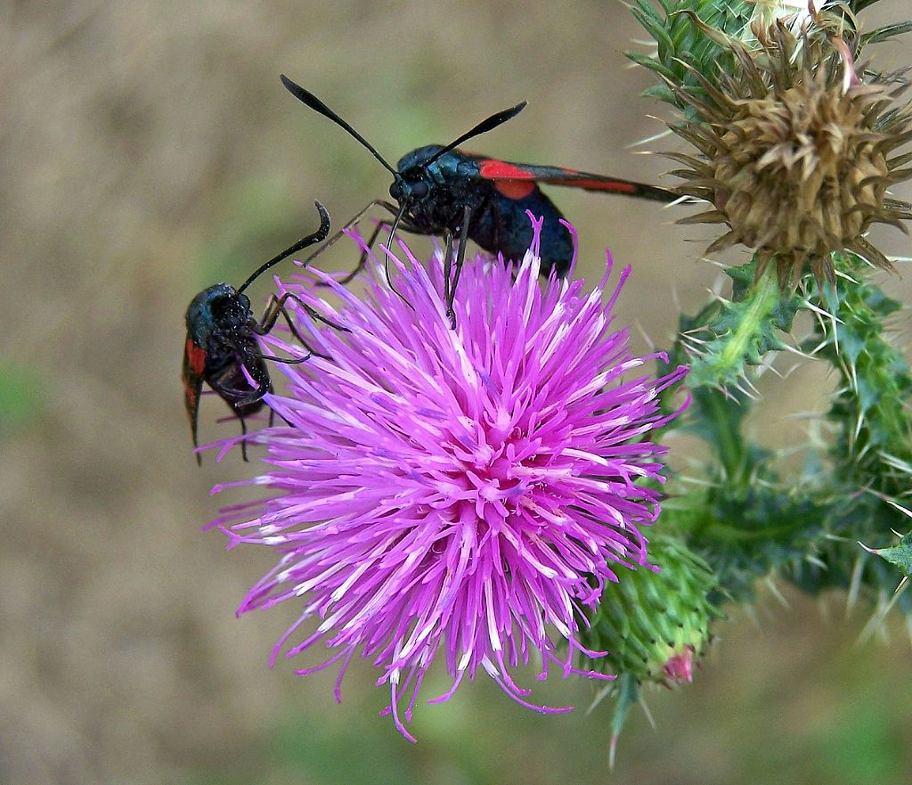 Thistle is the common name of a group of flowering plants