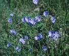 Blue chicory to match the blue of the sea and sky