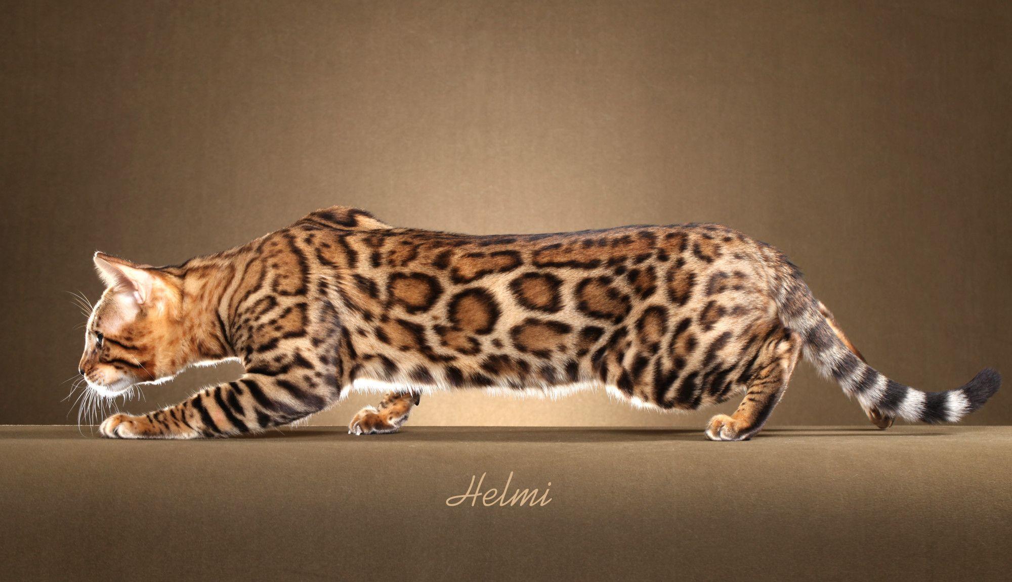 Bildergebnis für bengal cat rosette | black pads | Pinterest ...