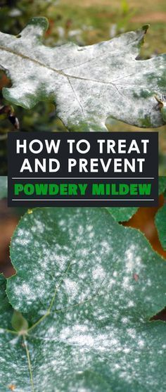 how to prevent and treat powdery mildew with either home or professional remedies. Cure your garden of this annoying disease!Learn how to prevent and treat powdery mildew with either home or professional remedies. Cure your garden of this annoying disease!