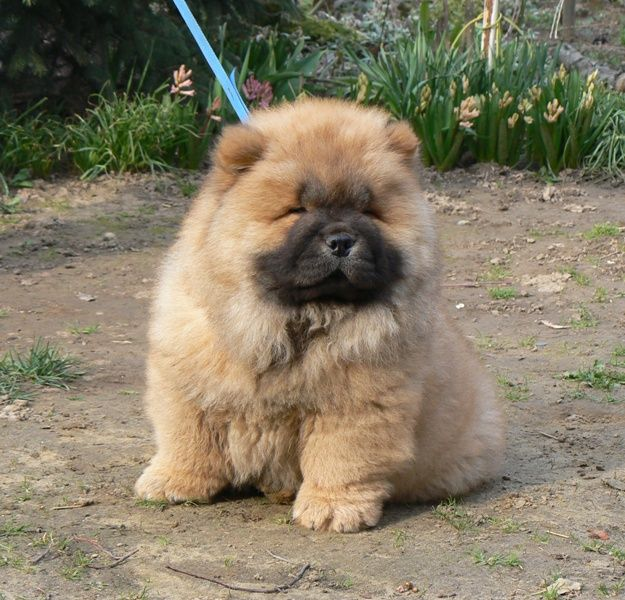 Our Sweet Red Baby Broken Hill Asterix I Love Him Fluffy Dogs