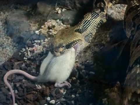 Serpiente Cascabel Se Come Un Ratón Vivo