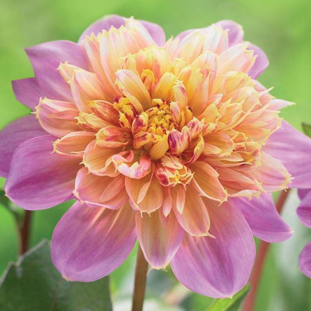 Dahlia anemone lifestyle dahlia perennials and gardens dahlia anemone lifestyle izmirmasajfo