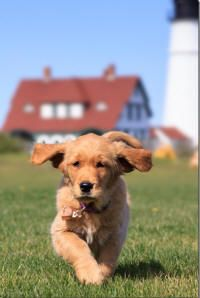 Goldenridge Kennels Golden Retriever Puppies For Sale In New