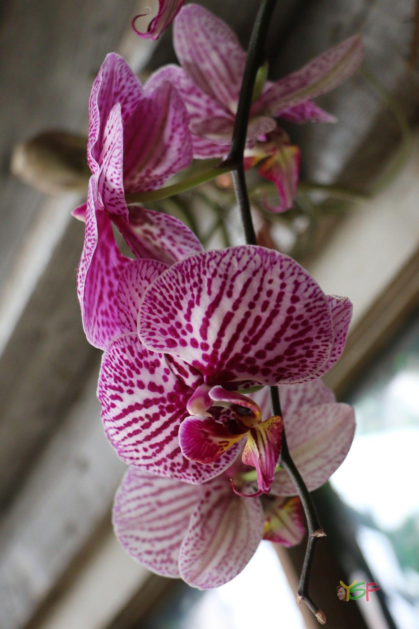 Phalaenopsis Hybrid Pink Spot On White Phalaenopsis Pink Orchids
