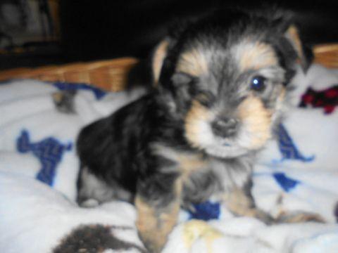 Morkie Puppy For Sale In Cedar Rapids Ia Adn 27935 On Puppyfinder Com Gender Male Age 5 Weeks Old Morkie Puppies Morkie Puppies For Sale Puppies For Sale