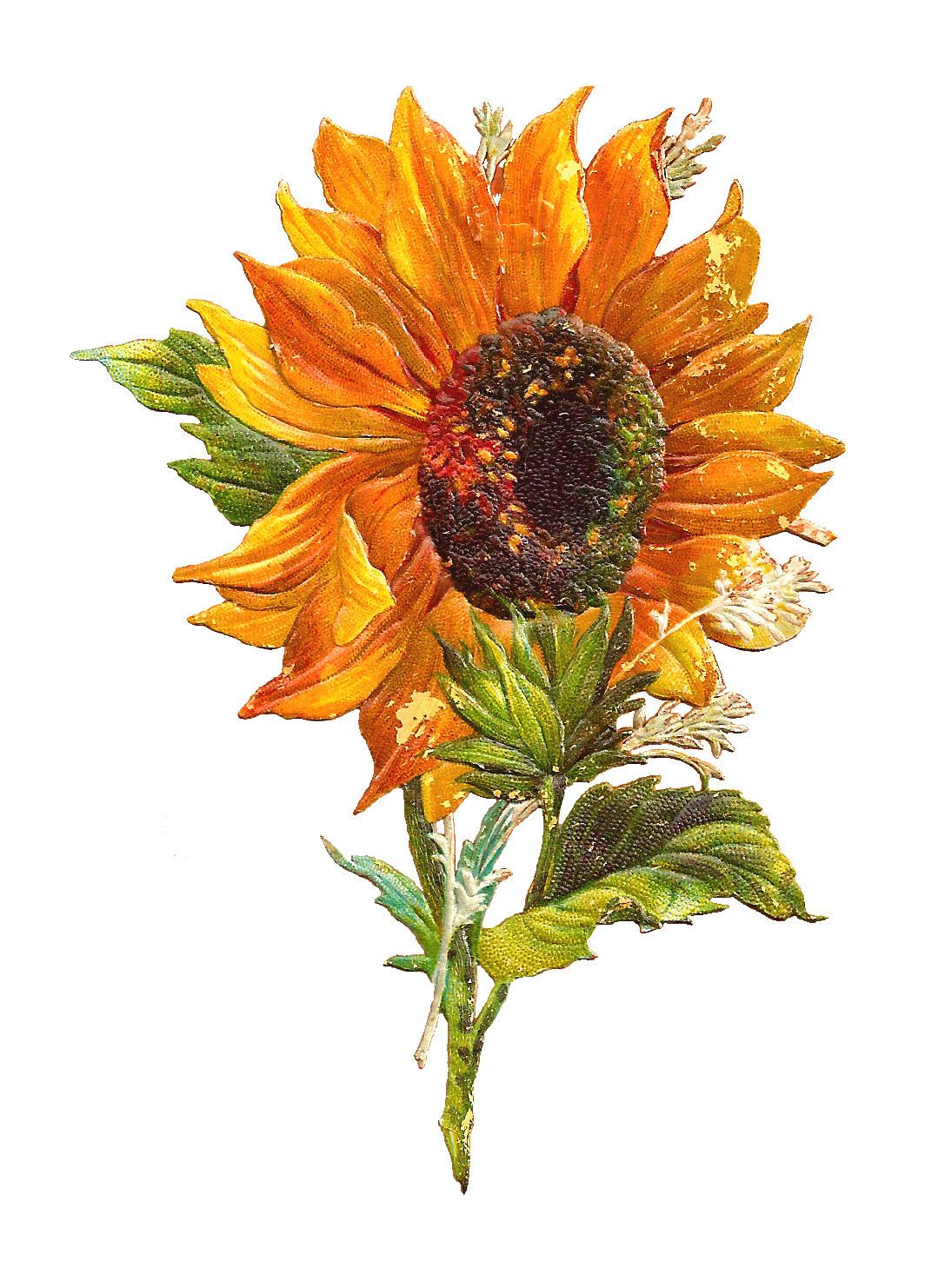 Antique Images Free Flower Graphic Sunflower Clip Art of