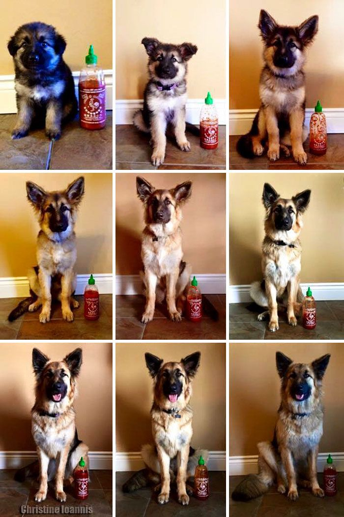 Owner Documents Their Dog S Growth By Using A Bottle Of Sriracha