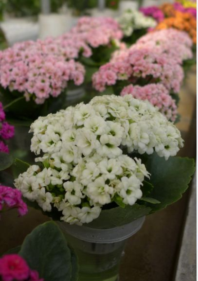 Kalanchoe blossfeldiana white flower means romance water and kalanchoe blossfeldiana white flower means romance mightylinksfo