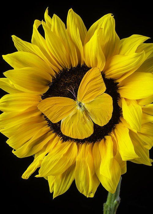 Yellow Butterfly On Sunflower Greeting Card for Sale by Garry Gay