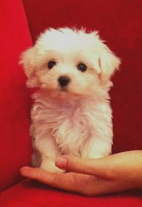 Male Teacup Maltese Maltese Dog Breed Crazy Dog Lady Cute