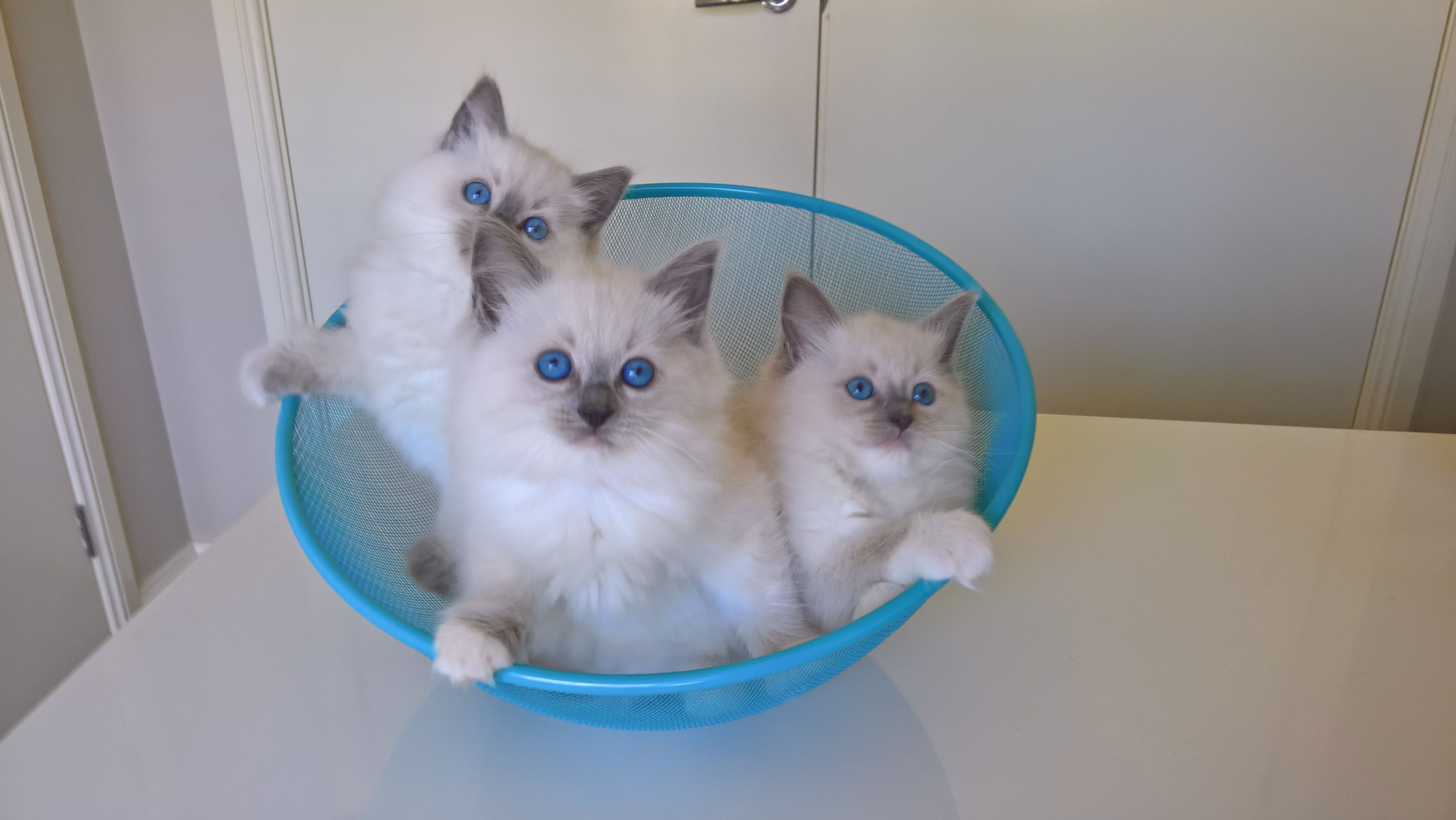 Blue Mitted Blue Colourpoint Ragdoll Kittens In Basket Ragdoll Cat Ragdoll Kitten Ragdoll