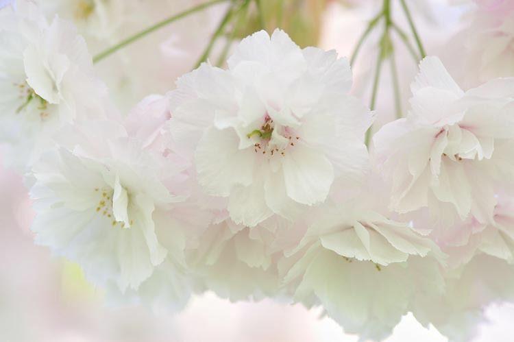 Prunus Shogetsu Japanese Flowering Cherry Shogetsu Cherry Shogetsu Prunus Serrulata Japanese Flowering Cherry Flowering Cherry Tree Ornamental Cherry