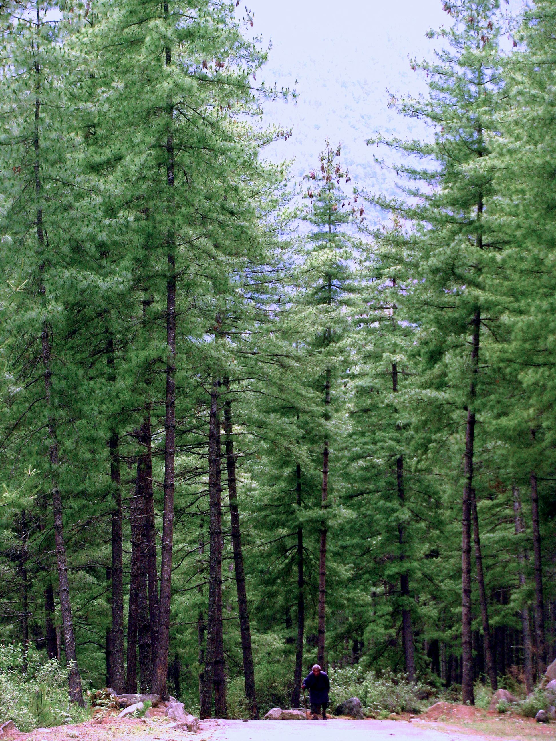 hindu singles in white pine Pinus wallichiana is a coniferous evergreen tree native to the himalaya, karakoram and hindu kush mountains and himalayan white pine.