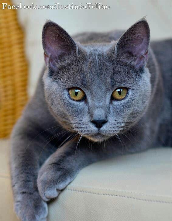 Burmese Cat Gatinhos Adoraveis Gatinhos Fofos Gatos