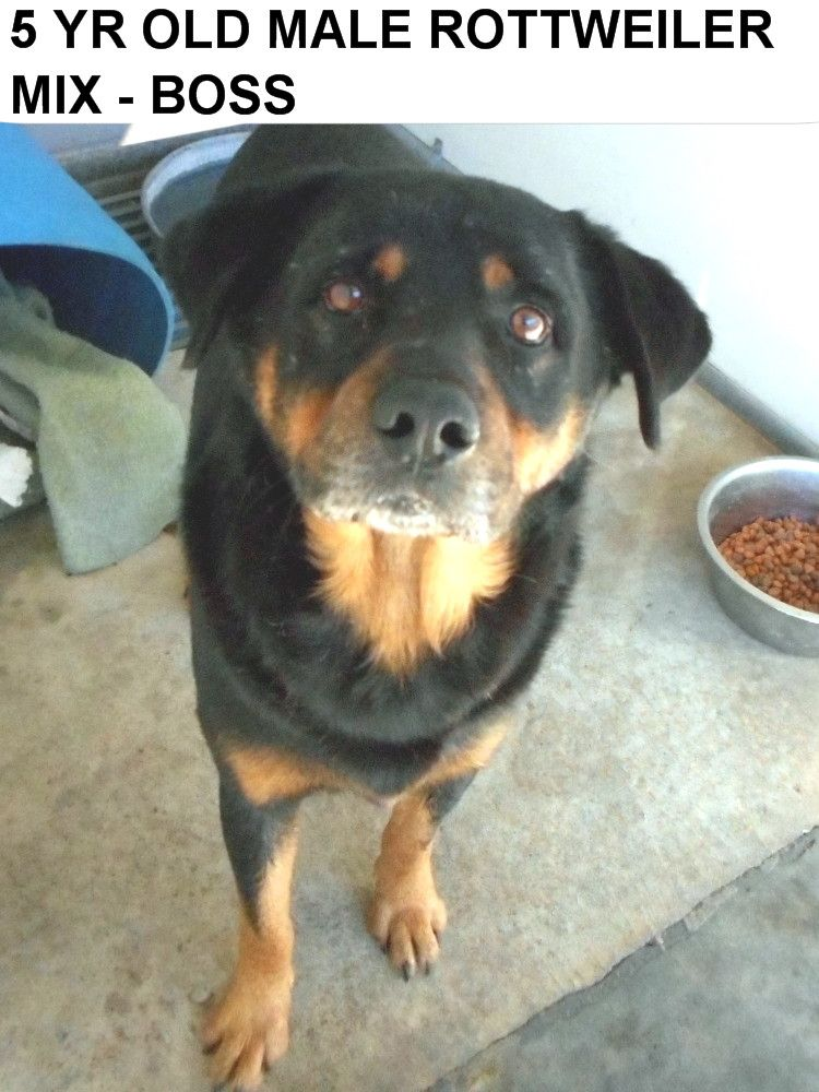 Rottweiler puppies for adoption in nc