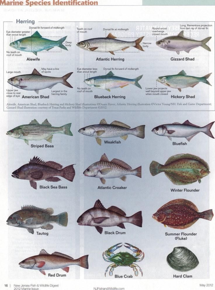 New Jersey Fish Identification Chart 1 Divebuddy Com Fish Flounder Fishing Fishing Worms