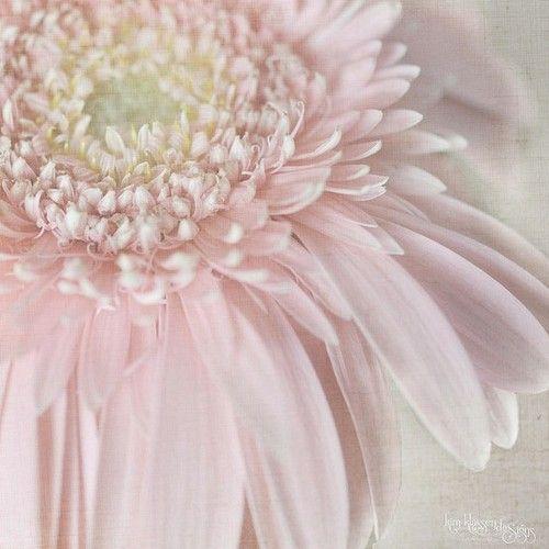 chrysanthemum pink...
