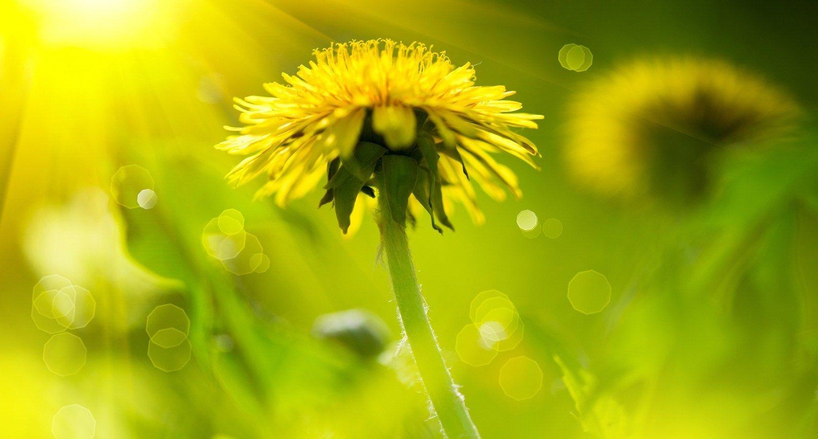 Blanket Of Good Dandelion Meaning Dandelion Flower Meanings