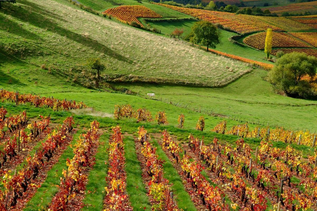 Couleurs d'automne dans les vignes de Saône-et-Loire, en sud Bourgogne © ADT 71 / Amédée de Almeida