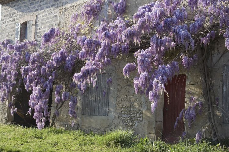 Chinese Wisteria Plant Care And Growing Guide Wisteria Garden Wisteria Plant Japanese Plants