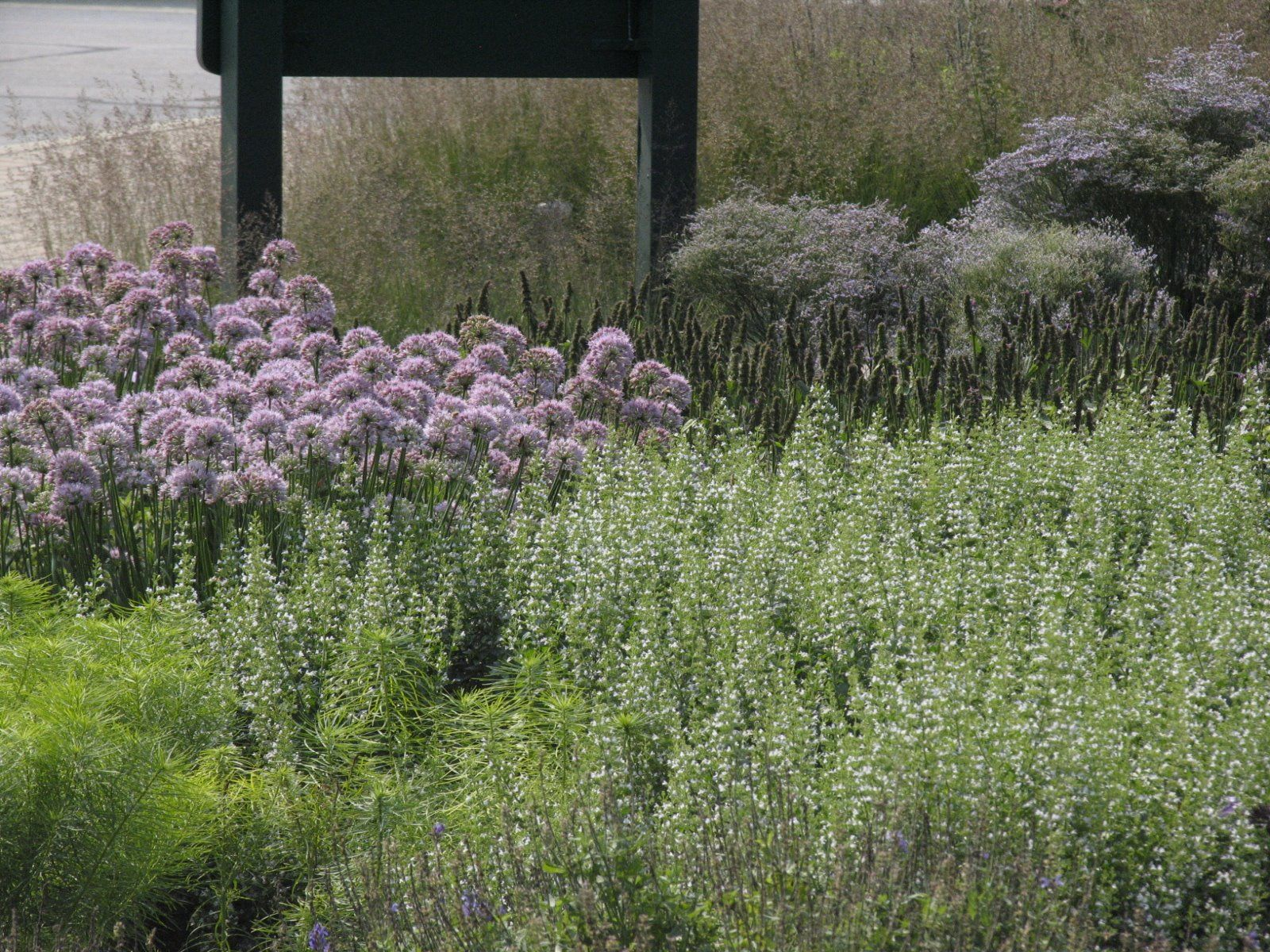 The First Picture Here Is Of Allium Summer Beauty Calamintha