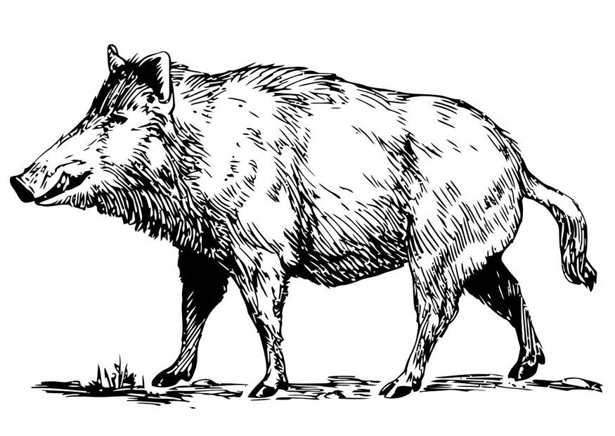 Wild Boar Coloring Page Wild Boar Img 19456 Animaux