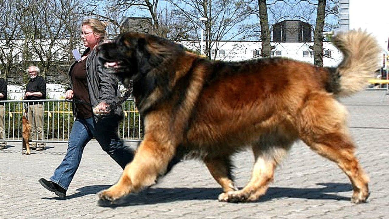 Big Dog Huge Love Giant Dog Breeds Giant Dogs Dog Breeds
