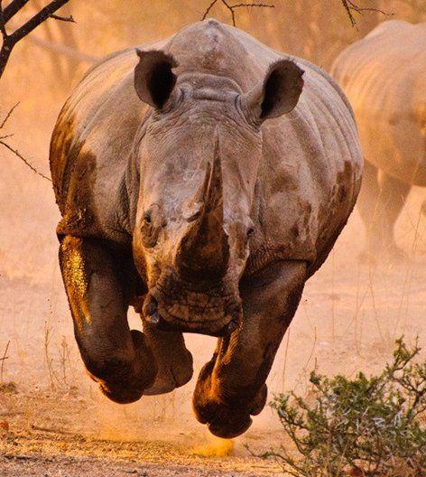I would hate to see that coming towards me! Rhino run #rhinoceros #rhino #topanimals