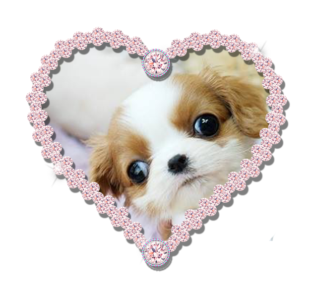 Teacup Cavalier King Charles For Sale Micro Teacup Puppies