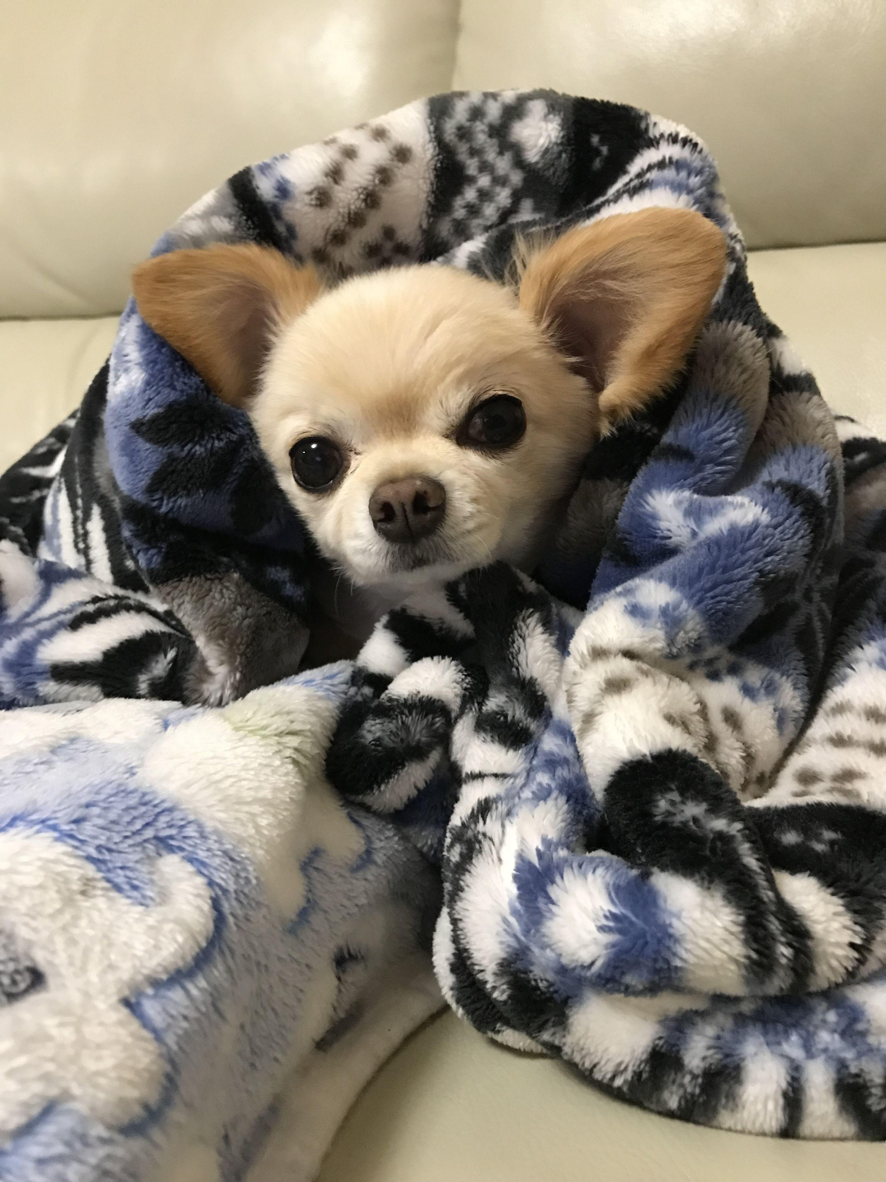 O Frio Ta Chegando Que Coisa Mais Linda Cute Chihuahua Chihuahua Puppies Chihuahua Dogs