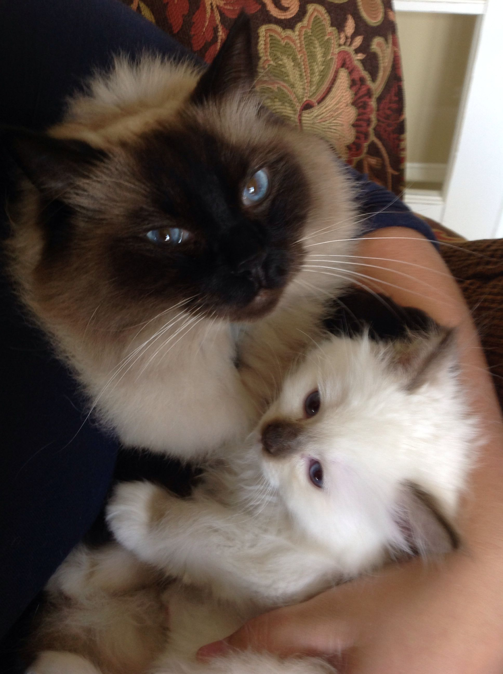 Brotherly Ragdoll Luv Ryker Wendell Rowan Wyatt Of Kikiragdolls Oh 10 2014 Cats And Kittens Cute Cats Oriental Cat