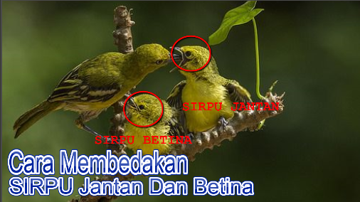 Pin Di Masteran Burung Kicau
