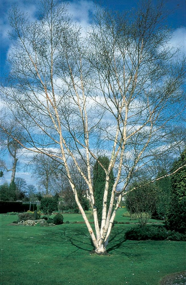 Betula Utilis Var Jacquemontii Multi Stem Garden Gifts White Birch Trees