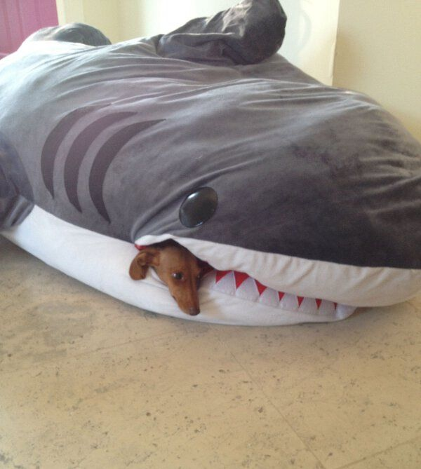 a dachshund would surely de stuff this shark bait bed and probably try to take on a real shark. Black Bedroom Furniture Sets. Home Design Ideas