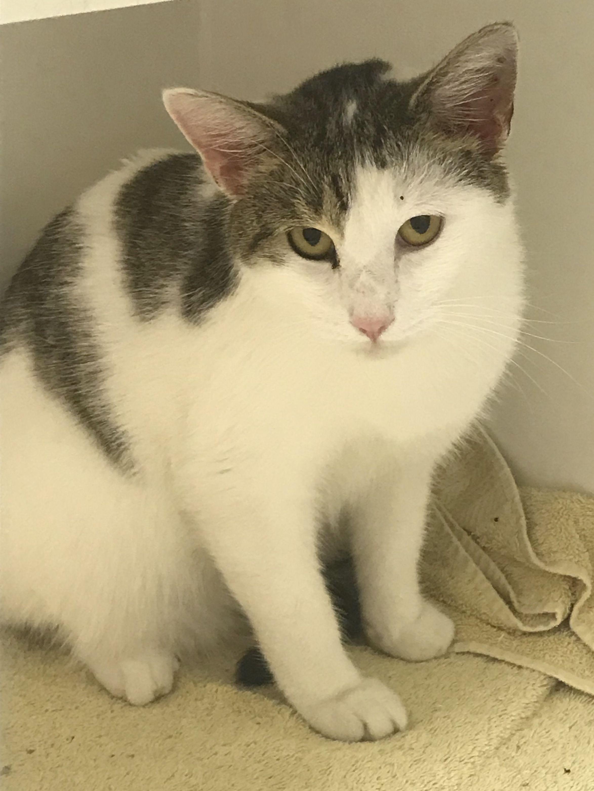 Adopt Seven Petsmart Morehead On Petfinder Petsmart Humane Society Kitty