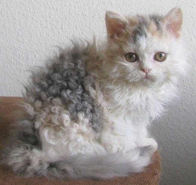 Curly Is The New Cool is listed (or ranked) 2 on the list Curly Haired Cats Are The Internet's Latest Obsession