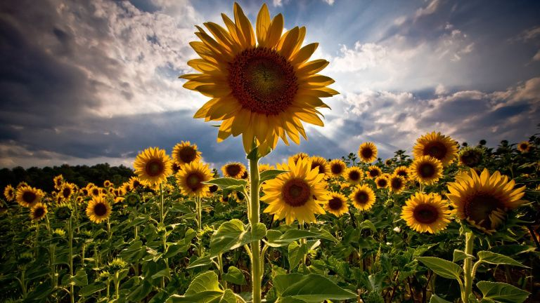 Harley Flowers Flower Background Images Sunflower Wallpaper Sunflower Fields