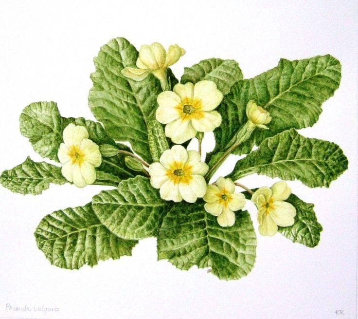 botanical drawings of wild primroses - Google Search ...