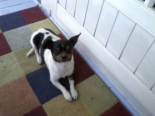 Found Chihuahua Mix Jack Russell Harbor City Found Black