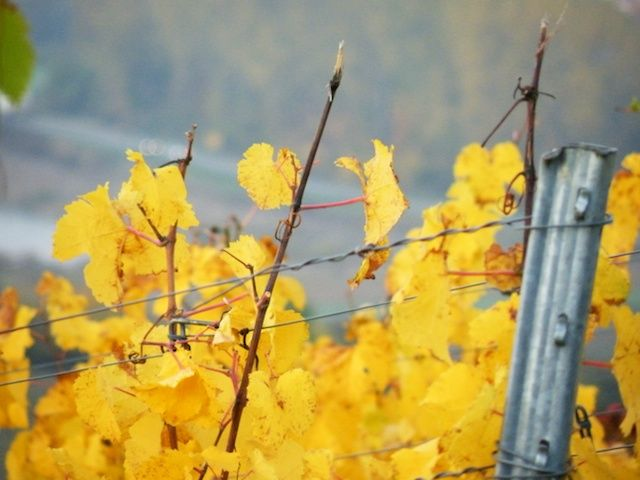 Green turns to yellow in our vineyards in Fall... http://weinvon3.de