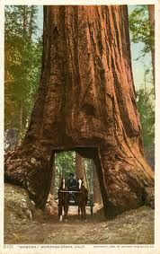 Yosemite National Park - Giant Redwoods