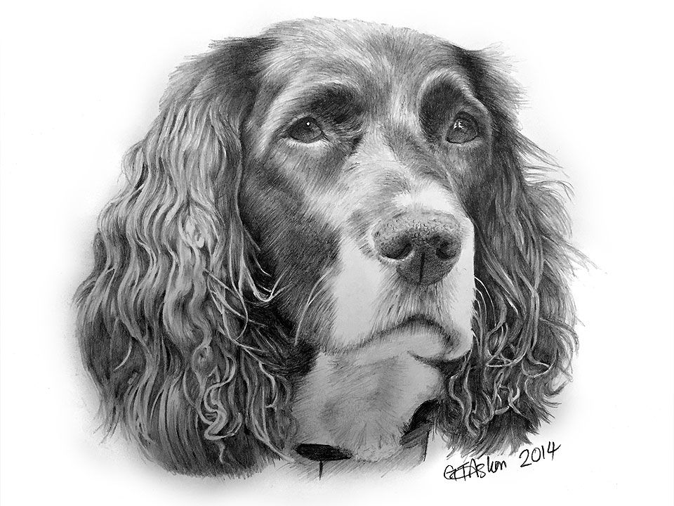 Here S My Latest Drawing Of A Dog A Springer Spaniel Named Pippa