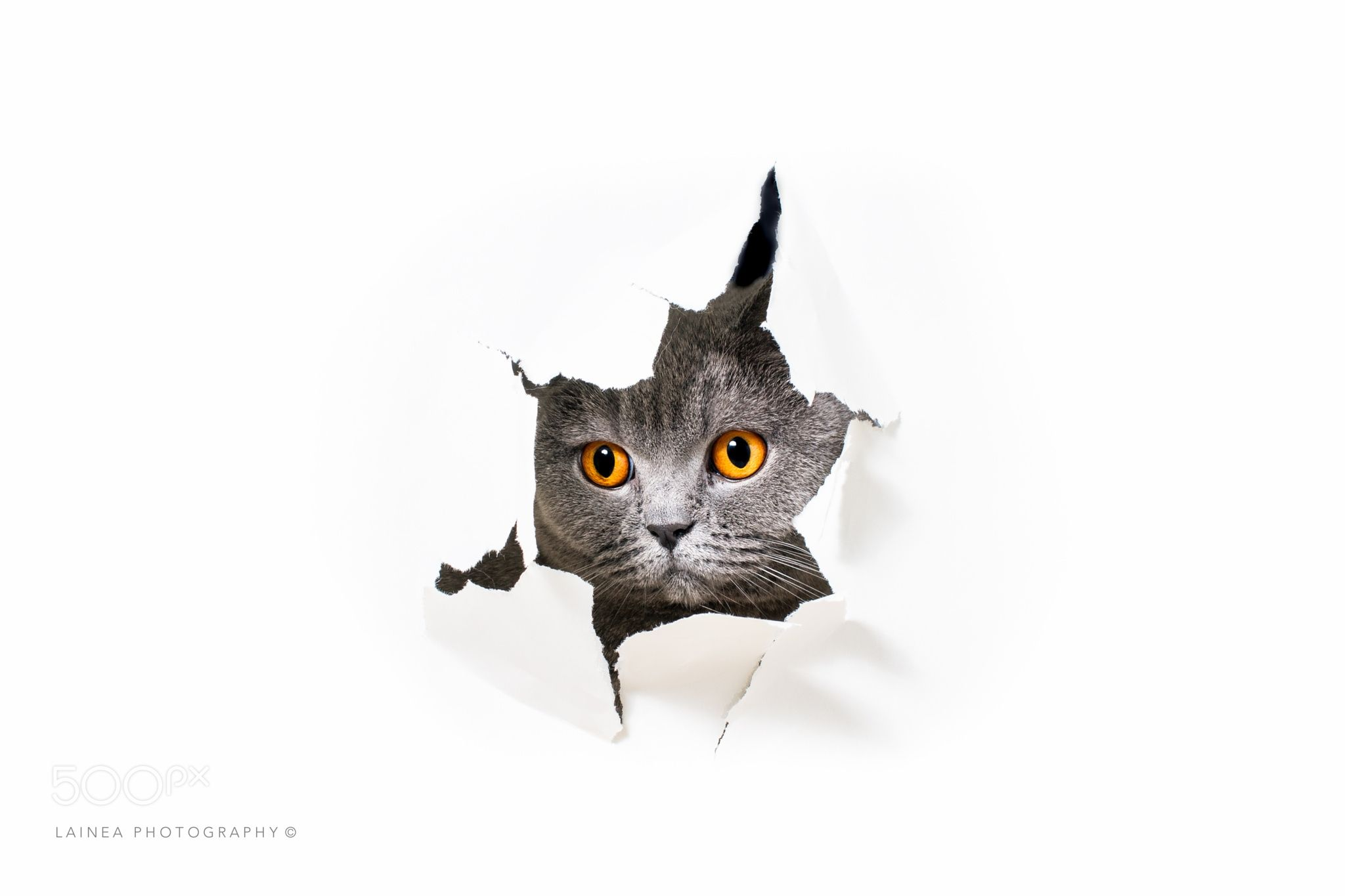 Cat Lookin Out A Hole On Paper British Shorthair Lookin Out A Hole On White Paper A Torn White Paper Grey Ca Cats British Shorthair Cats British Shorthair