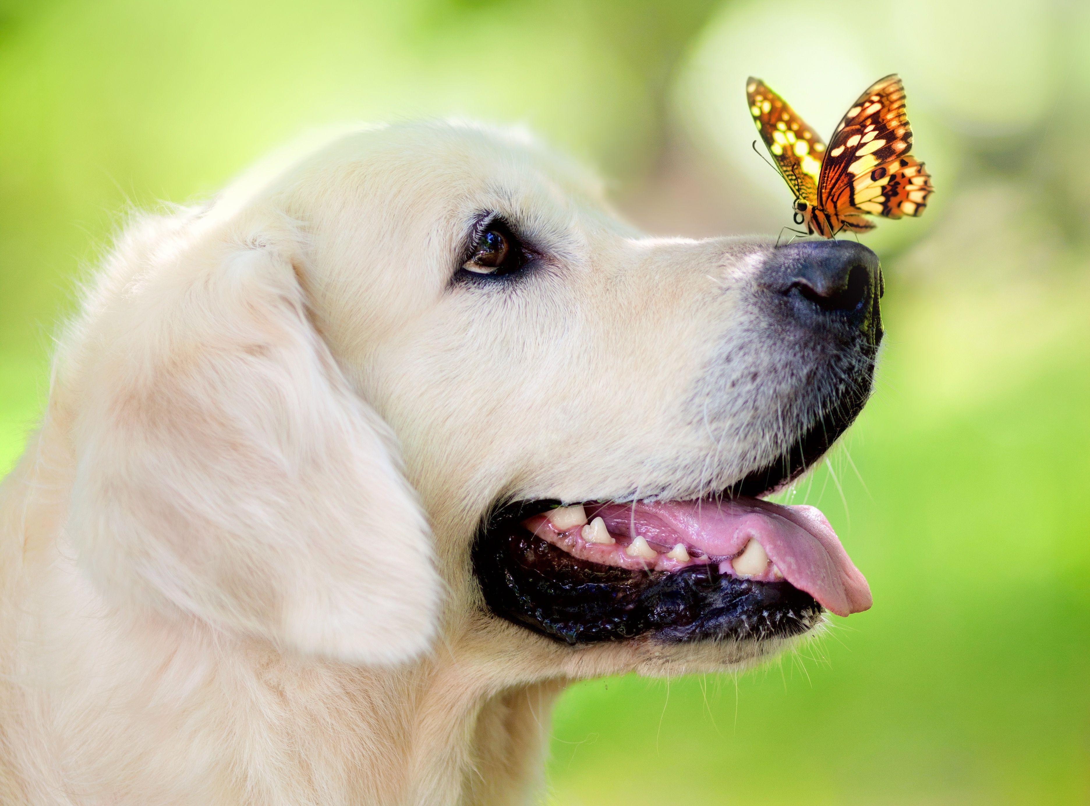 Cute Little Golden Retriever Puppy Admiring A Butterfly Visitor