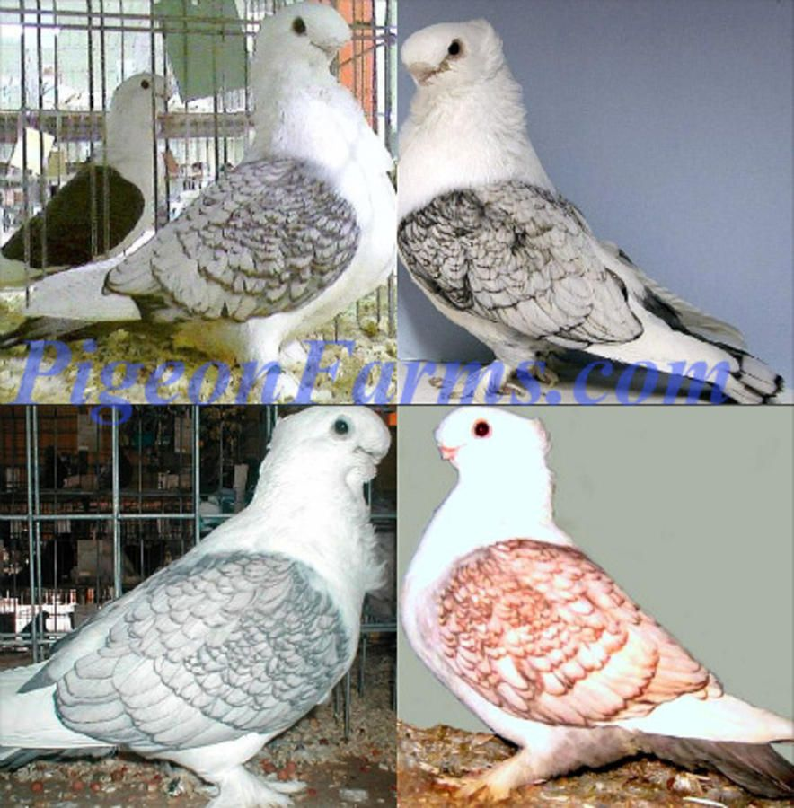 Fancy Pigeons For Sale All Pigeon Breeds Available in