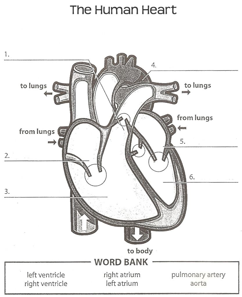 Human Anatomy Labeling Worksheets Tag Heart Anatomy Labeling – Heart Diagram Worksheet