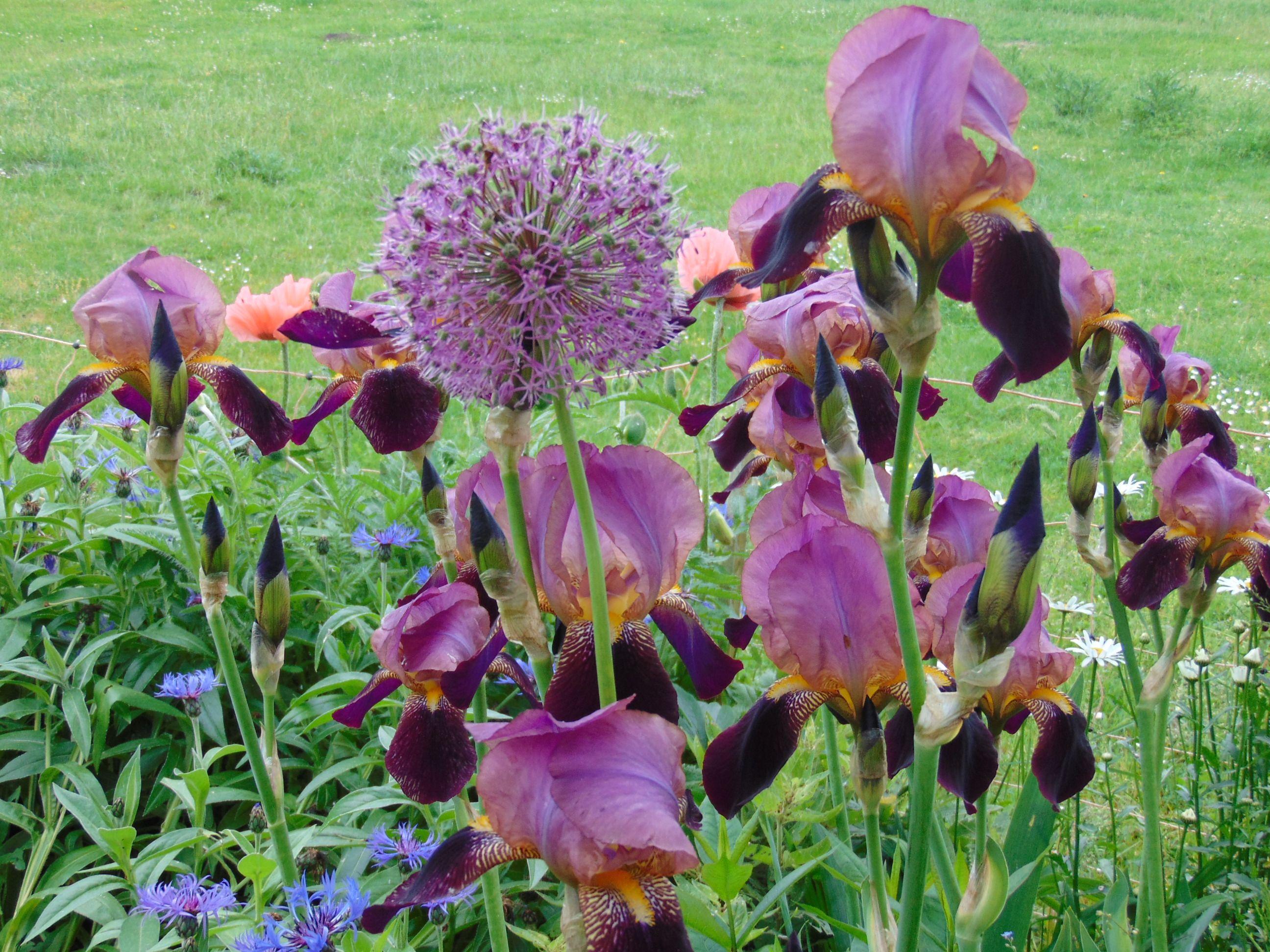 Iris und Zierlauch